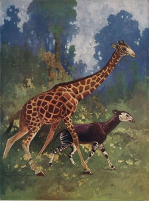 Okapi and giraffe