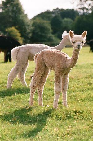 Grow alpacas grow