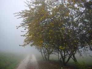 Fremontodendron_californicum