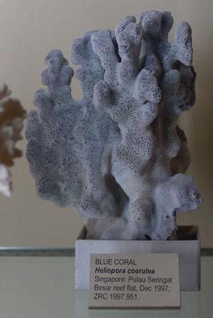 Blue coral cropped