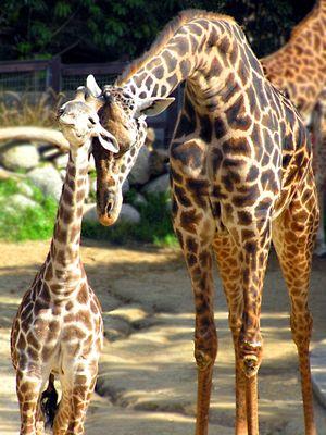 Giraffes parent and child