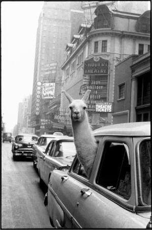 Inge morath llama