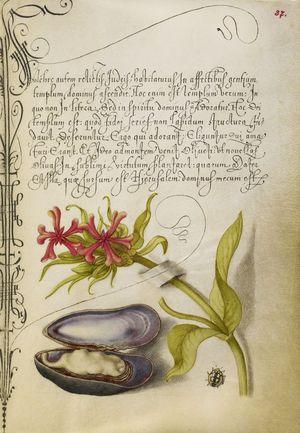 Hoefnagel-&-Bocksay-Manuscript-Vienna-1560s-&-1590s-Getty