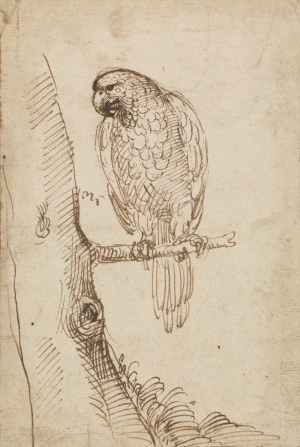 Carracci-Annibale-Parrot-on-tree-branch-study-for-Naples-fresco-before-1609-drawing-Roya-Collection