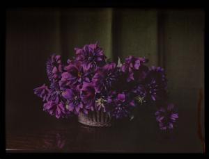 Anonymous-photograph-Netherlands-Dahlias-c1907-1935-glass-plate-negative-Rijksmuseum