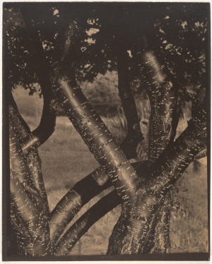 Stieglitz-Alfred-The-Dancing-Trees-1922-palladium-print-Metropolitan-Museum-of-Art-New-York