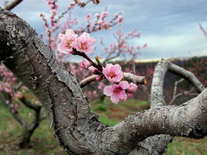 J_e_lee_peach_tree_in_flower_in_orc